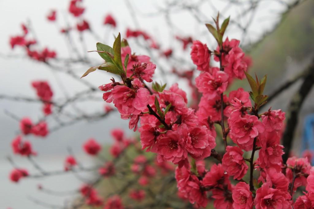 荘川桜の脇にあったボタン桜