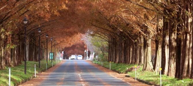 滋賀県高島市のマキノ高原 メタセコイア並木<秋>