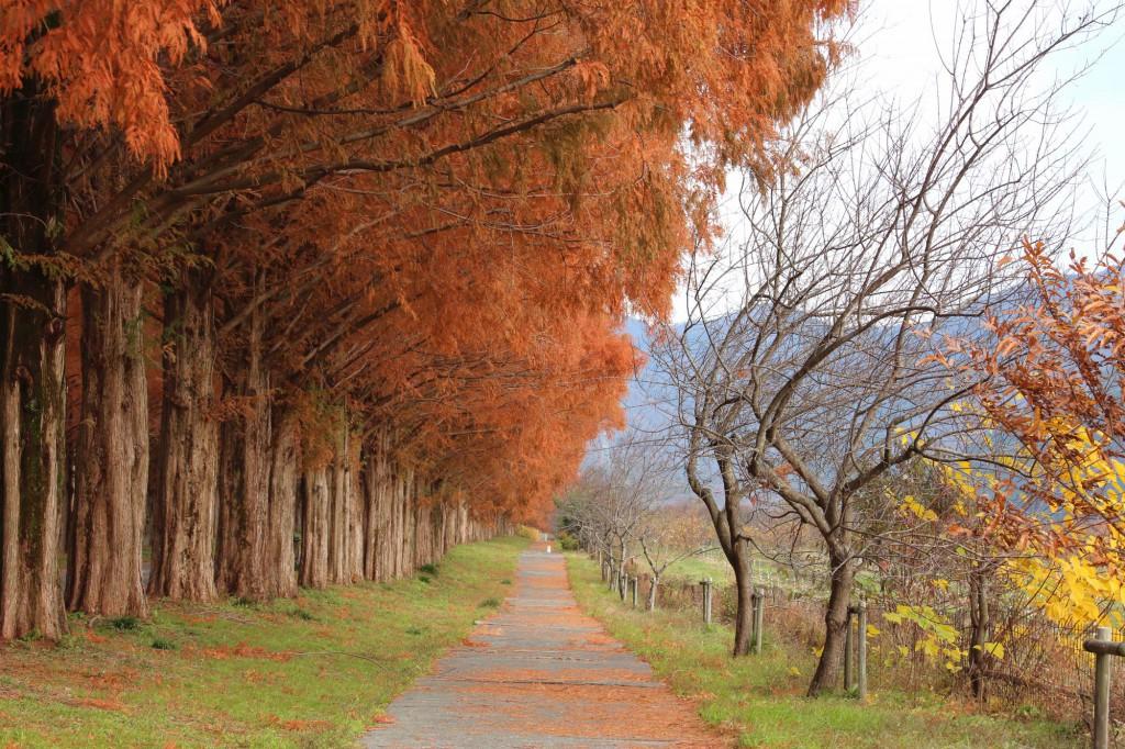 滋賀県高島市のマキノ高原 メタセコイヤ並木<秋>