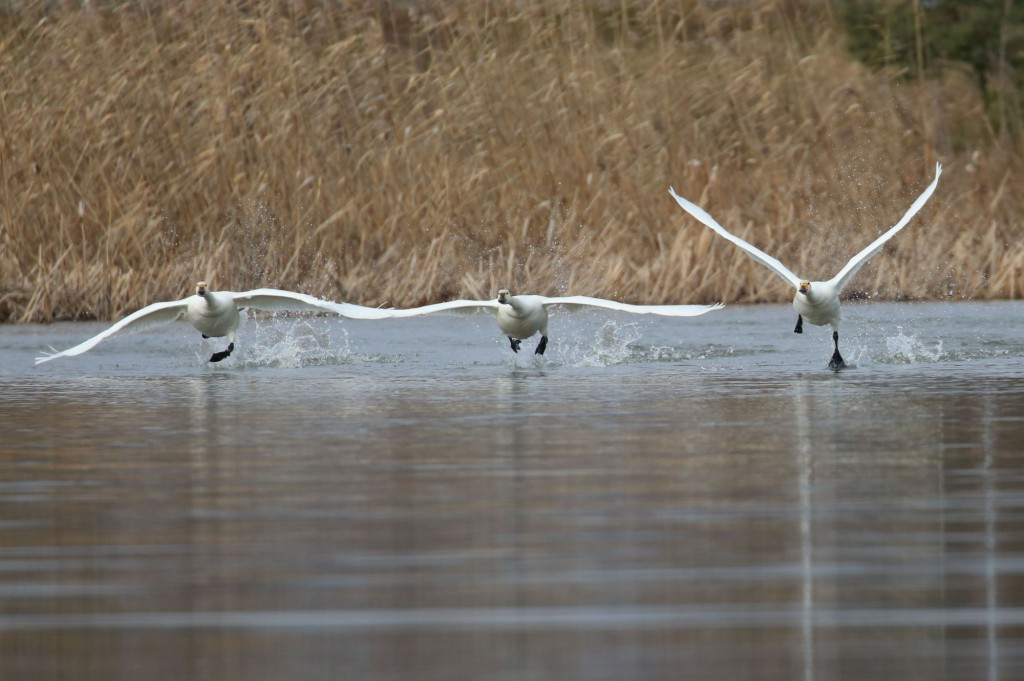 早崎ビオトープの小白鳥(コハクチョウ)