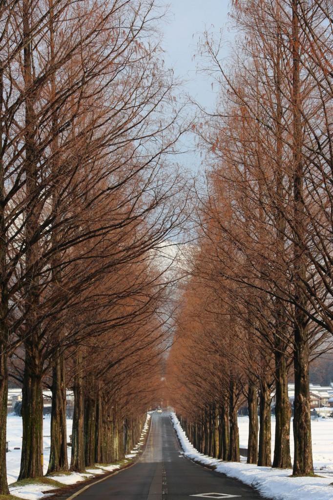 滋賀県高島市のマキノ高原 メタセコイア並木<冬>