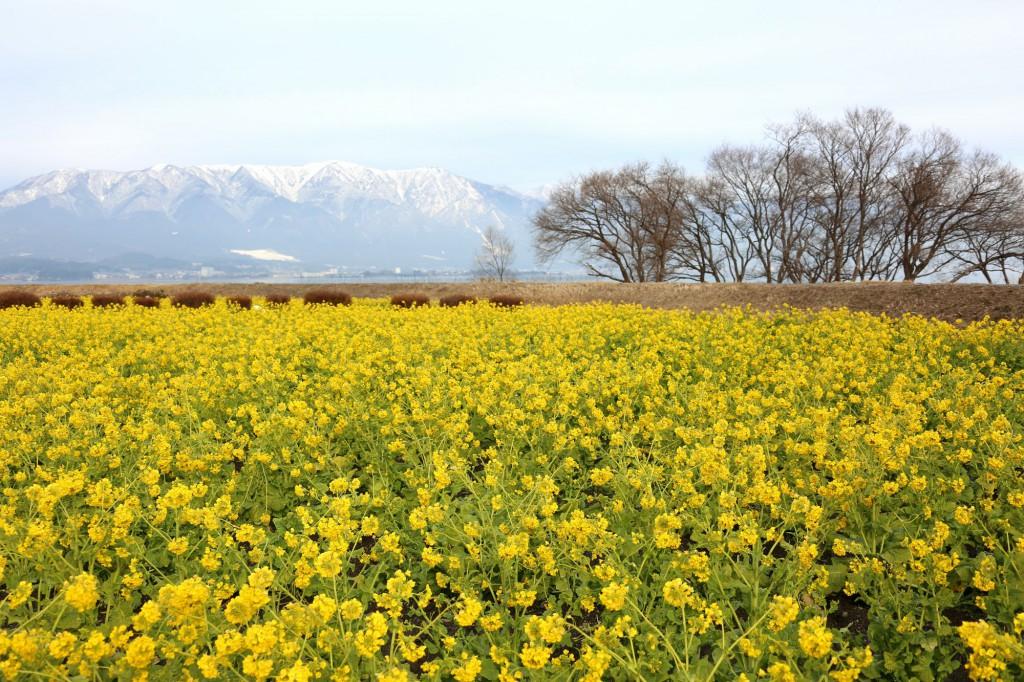 第1なぎさ公園の菜の花-滋賀県守山市-