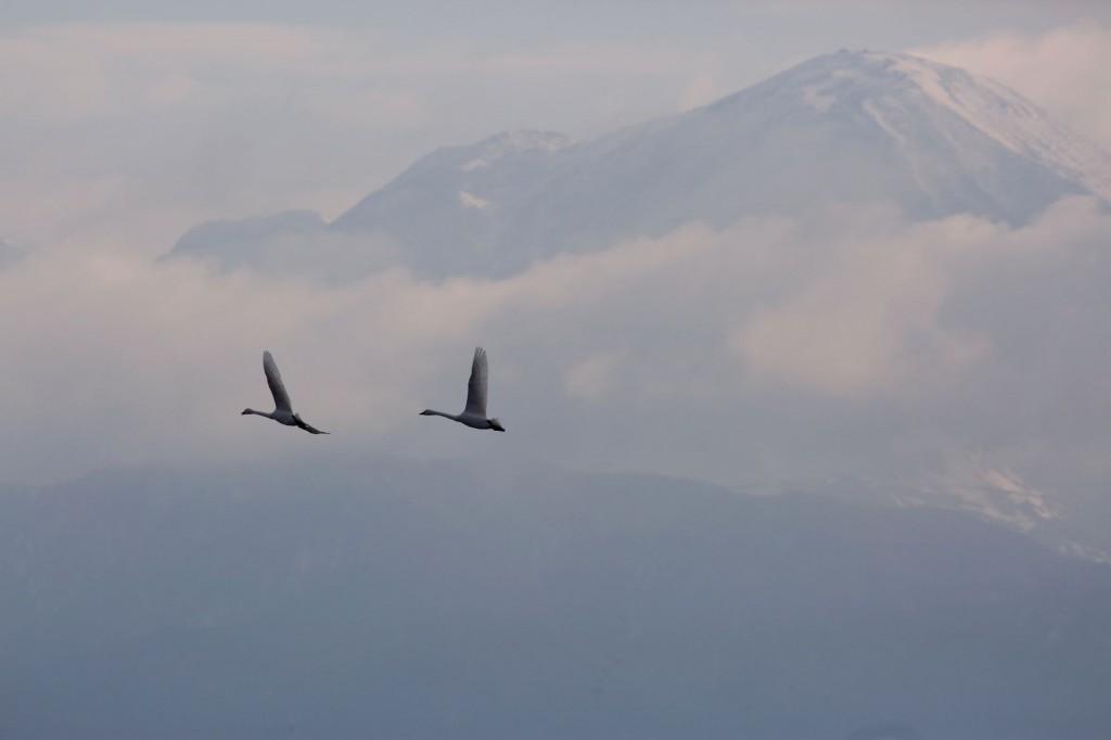 伊吹山と早崎ビオトープの小白鳥(コハクチョウ)
