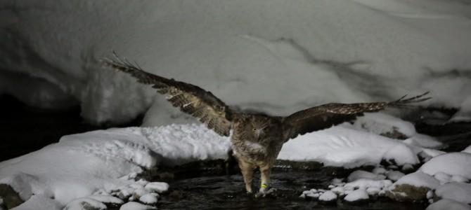 道東、鳥撮影の旅 初日 シマフクロウの撮影