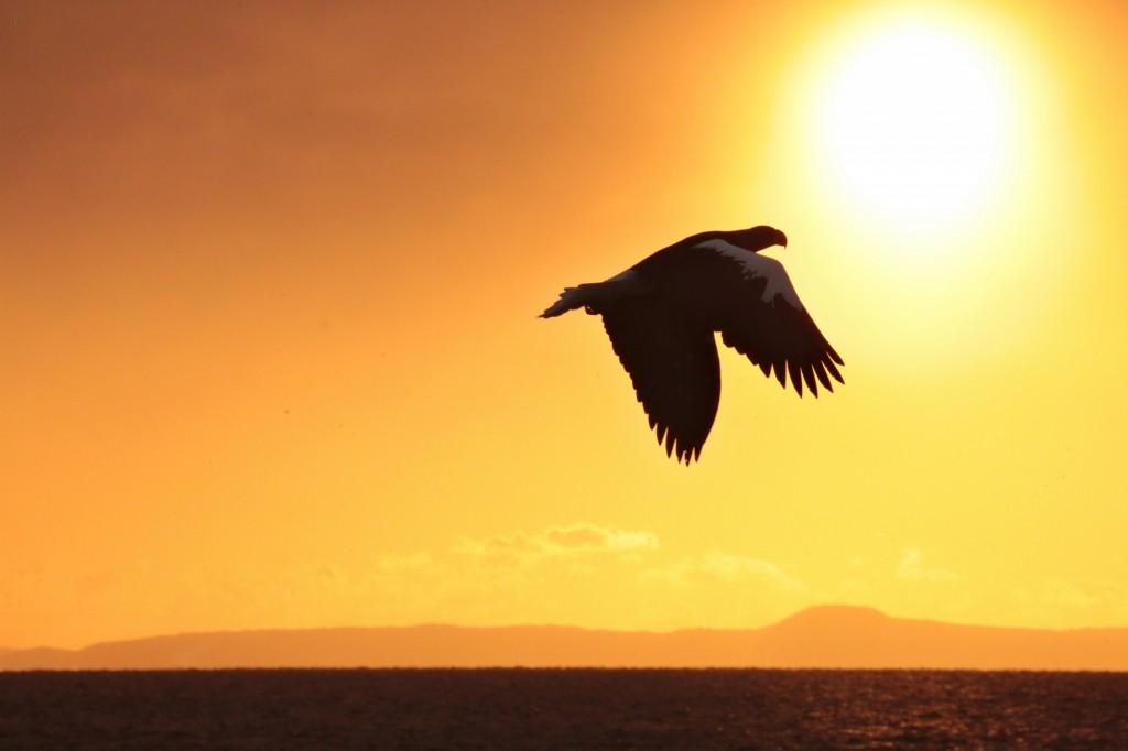 羅臼の大鷲(オオワシ)