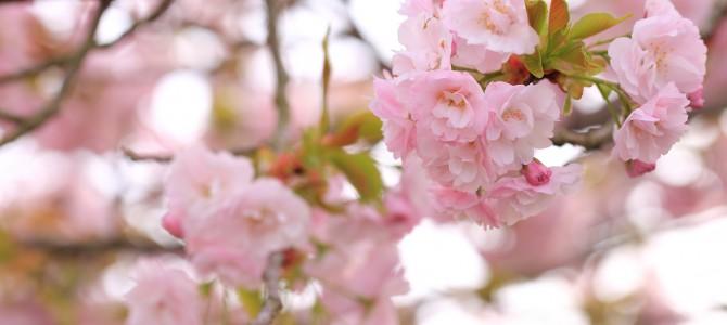 さくら咲く宇治田原 — 桜を楽しめる穴場的な場所 — 2