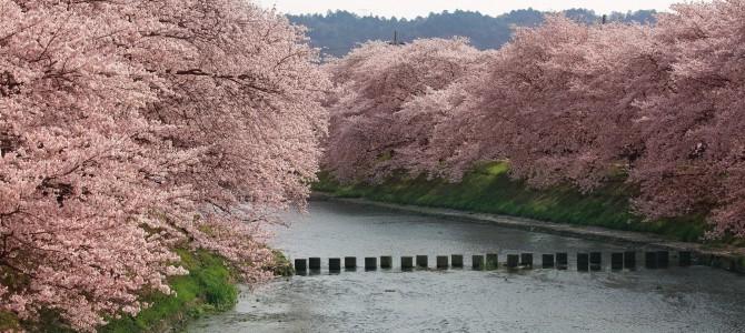 さくら咲く宇治田原 — 桜を楽しめる穴場的な場所 — 1