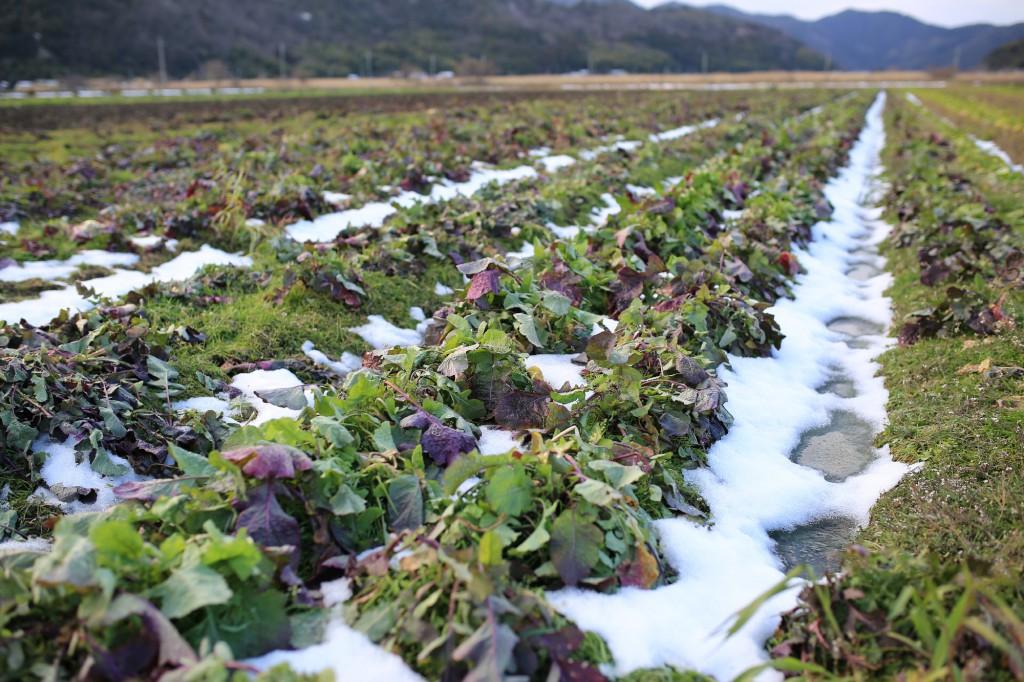 北之庄菜の畑