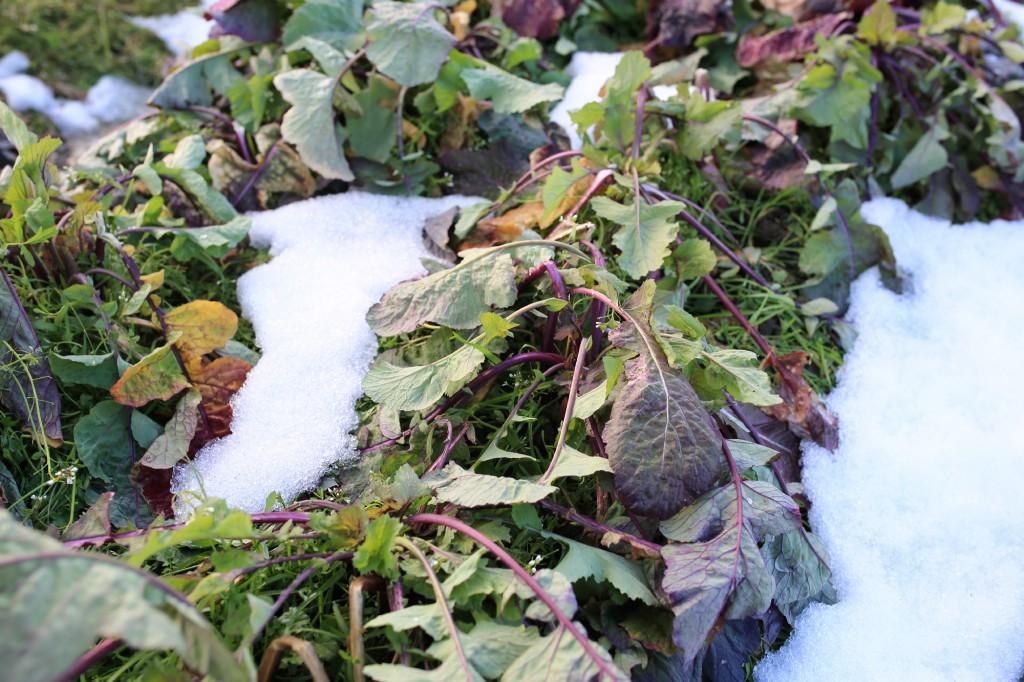 雪に埋もれていた北之庄菜